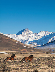 Running Idaho Mustangs, snow capped peaks of the Pahsimeroi Mountains.
