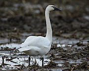 Tundra Swans feed in fallow fields on roots and tubers.