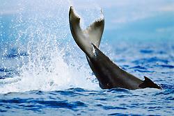 humpback whale, Megaptera novaeangliae, newborn calf, lobtailing or tail slapping, Hawaii, USA, Pacific Ocean