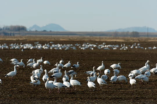 Snow Goose(Chen caerulescens) in flight near Freezeout Lake in northern Montana foraging in ranchers field. Fall.