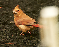 Northern Cardinal. Image taken with a Nikon D4 camera and 80-400 mm VR lens.