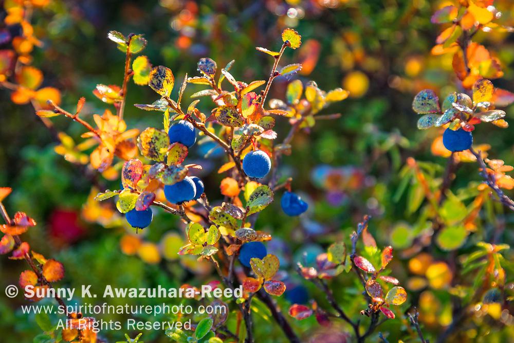 Close up of Lowbush Blueberry in fall color, Denali National Park & Preserve, Interior Alaska, Autumn.