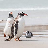 Pygoscelis papua, Pebble Island, Falkland, February 2019 Chicks chasing adult