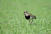 Southern Lapwing (Vanellus chilensis) walking on grass, Iguazu, Argentina