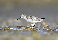 Broad-billed Sandpiper - Limicola falcinellus<br /> adult winter plumage
