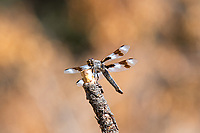 Perhaps the most strikingly beautiful of all of the large dragonflies of Western Canada and the United states, the eight-spotted skimmer contrasts greatly with its environment, whether it is in lowland marshes and ponds or along desert creeks and rivers. This one was seen near the bank of the Tieton river in the sagebrush desert near Naches, Washington on a very hot summer day.