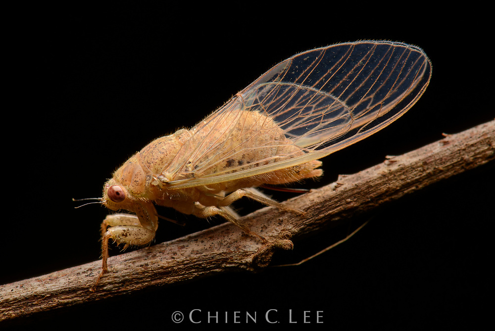 The large tropical island of New Guinea hosts a high diversity of cicada species, such as this Baeturia sp., many of which are endemic to small regions. Batanta Island, West Papua, Indonesia.