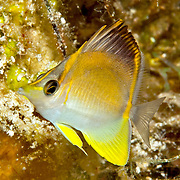 Longsnout Butterflyfish inhabit deeper reefs and walls, usually solitary Tropical West Atlantic; picture taken San Salvador, Bahamas.