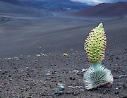 A silversword plant in full bloom with Haleakala Crater in the background.