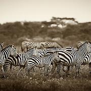 """Stripes""                                                         Tanzania<br />  I do so love the stripes of the zebra."