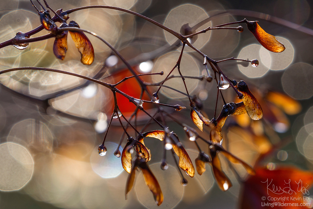 The sun shines on wet maple seeds after a rainstorm passes over Snohomish County, Washington.