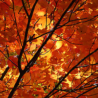 """""""Absorbed in Autumn""""<br /> <br /> Beautiful golden and orange tipped Maple leaves on a swaying branch. Sunlight drenches the leaves with her autumn warmth!!<br /> <br /> Fall Foliage by Rachel Cohen"""