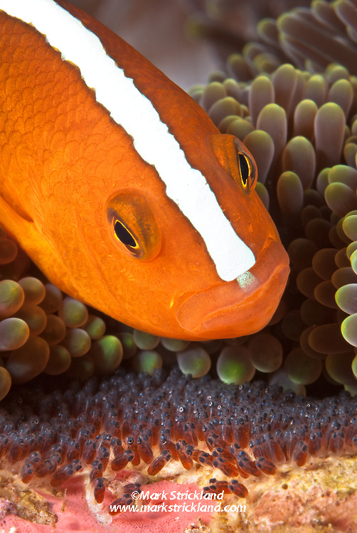 An Orange Anemonefish, Amphiprion sandaracinos, dutifully tends its clutch of eggs. Well developed eyes of embryos indicate they are nearly ready to hatch. Anilao, Philippines, Pacific Ocean