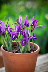 Iris reticulata 'Scent Sational' in a terracotta pot