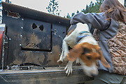 Angie Denny sets loose one of Table Mountain Outfitter's Walker hounds during a spring bear hunting with hounds in Idaho