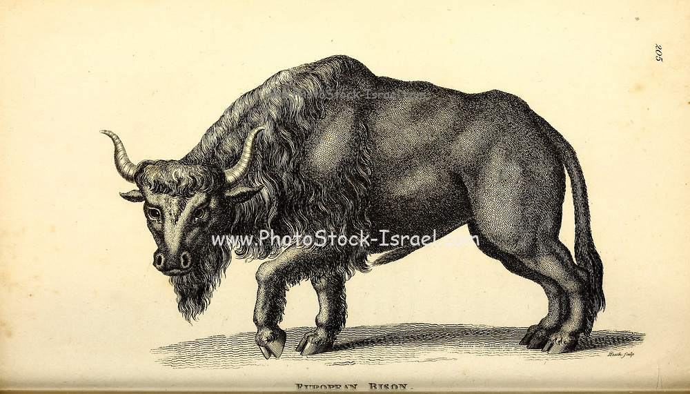 European Bison (Bison bonasus, also known as wisent) from General zoology, or, Systematic natural history Vol II Part 2 Mammalia, by Shaw, George, 1751-1813; Stephens, James Francis, 1792-1853; Heath, Charles, 1785-1848, engraver; Griffith, Mrs., engraver; Chappelow. Copperplate Printed in London in 1801 by G. Kearsley