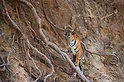 A playful tiger cub (Panthera tigris tigris) looking up a steep embankment to its unseen sibling above, Ranthambhore National Park, Rajasthan, India,