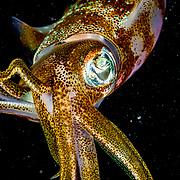 Caribbean reef squid (Sepioteuthis sepioidea) in attack mode, Bahamas.