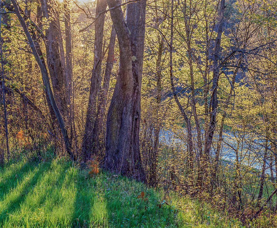 Backlit spring leaves, trees along banks of Wild Ammonoosuc River, Bath, NH