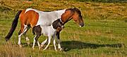 Dartmoor pony mare and foal walking through gorse moorland, Dartmoor National Park