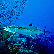 Caribbean Mackerel