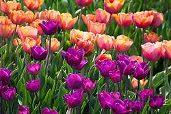 Breeder tulips at Hortus Bulborum, Limmen, Holland. Tulipa 'Klopstock' and T. 'Kathleen Truxton'