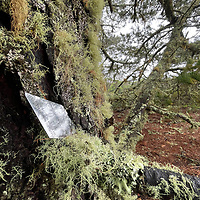 Monterey Pine trees, covered in lichens and moss, grow in a foggy forest near Half Moon Bay, California.