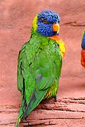 Avifauna, Europa's grootse vogelpark. / Avifauna - the largest bird sanctuary in Europe Op de foto / On the photo: Lori van de blauwe bergen (Trichoglossus haematodus moluccanus  ) / Wedge-tailed Lorikeet's