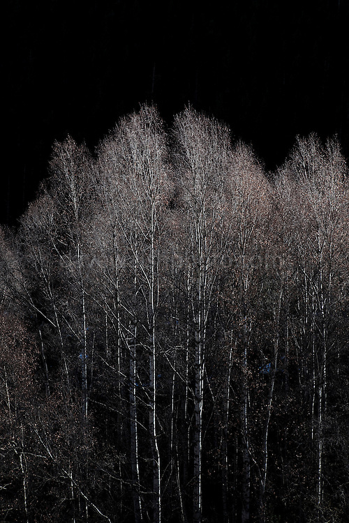 """Silver Birch trees lit up by sunlight on the second last day of December, near Mantet, in the French Pyrenees-Orientales. This mage can be licensed via Millennium Images. Contact me for more details, or email mail@milim.com For prints, contact me, or click """"add to cart"""" to some standard print options."""