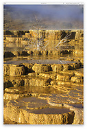 Golden Mineral Terraces at Mammoth Hot Spring Just before dawn, Yellowstone National Park, Wyoming, USA