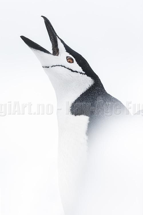 Chinstrap penguin (Pygoscelis antarcticus) in snow on white background   Ringpingvin i snø på hvit bakgrunn.