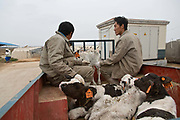 workers transport new-born calves to their kennels at Austasia's No. 3 dairy farm in Dongying, Shandong Province, China on 31 October, 2013. By the end of 2014, the pan-Asian diary group will have invested more than $US300 million in China and have around 55,000 cattle in its herd. The rapidly increasing dairy demand from China is pushing global prices higher, especially after food safety scandals have wrecked consumer confidence in local Chinese producers, spelling ample opportunity for global producers.