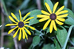 Black-eyed Susan bloom (Rudbeckia hirta)