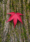 An autumn leaf from a nearby Japanese Maple tree (Acer palmatum) rests on the moss covered bark of a Norway Maple (Acer platanoides) in Belmont, Massachusetts.