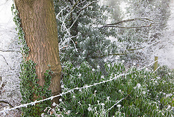 Common ivy in hoar frost by barbed wire fence in winter. Hedera helix