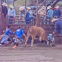 Rodeo clowns scramble to rescue a fallen bull rider at the 2011 Bozeman Stampede in Bozeman, Montana.