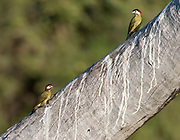 Pair of green-barred woodpecker (Colaptes melanochloros) from Pantanal, Brazil. Male to the left.