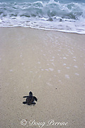 hawksbill turtle hatchling, Eretmochelys imbricata, crawls across beach toward ocean to begin life at sea, Turtle Island Park, Gulisaan Island, Sabah, Borneo, Malaysia  ( South China Sea )