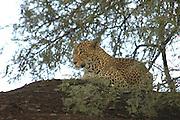 Kenya, Samburu National Reserve, Kenya, Leopard, Panthera pardus on a tree, February 2007