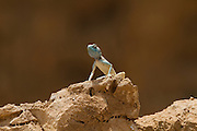 Sinai agama (Pseudotrapelus sinaitus, formerly Agama sinaita) basking on a rock. Photographed in Israel in May