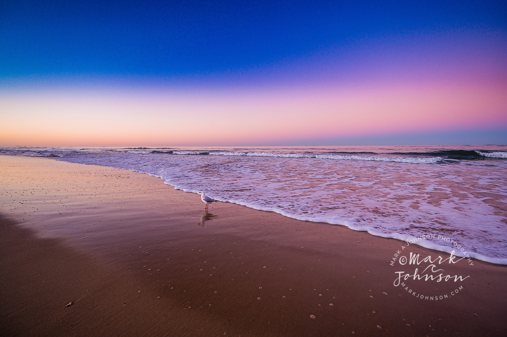 A Silver Gull on Dicky Beach, Sunshine Coast, Queensland, Australia