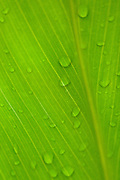 Raindrops on a Ti leaf in Hawaii