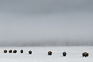 Bison migrating from Hayden Valley to the Lower Geyser Basin, Yellowstone