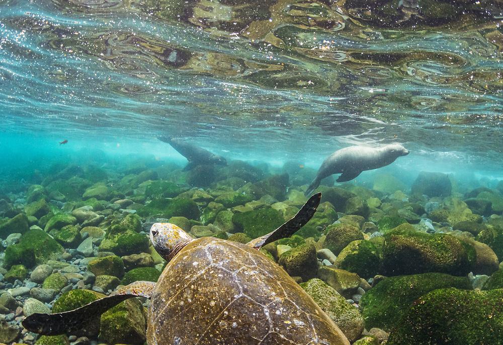 Galapagos sea lions (Zalophus wollebaeki), two, play near a Galapagos green sea turtle (Chelonia mydas agassizi) off Isabela Island, Galapagos, Ecuador.