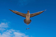 Red-footed Booby (Sula sula websteri) juvenile<br /> GALAPAGOS ISLANDS,<br /> ECUADOR.  South America<br /> Endemic Subspecies