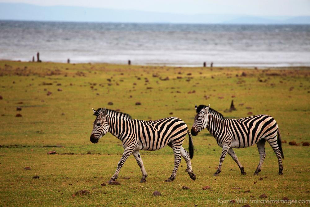 Africa, Zimbabwe, Matusadona. Zebra on the shore of Lake Kariba.