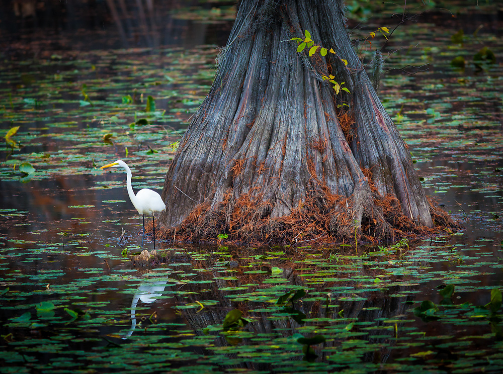 "An egret is any of several herons, most of which are white or buff, and several of which develop fine plumes (usually milky white) during the breeding season. Many egrets are members of the genera Egretta or Ardea which also contain other species named as herons rather than egrets. The distinction between a heron and an egret is rather vague, and depends more on appearance than biology. The word ""egret"" comes from the French word ""aigrette"" that means both ""silver heron"" and ""brush,"" referring to the long filamentous feathers that seem to cascade down an egret's back during the breeding season."
