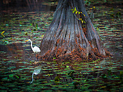 """An egret is any of several herons, most of which are white or buff, and several of which develop fine plumes (usually milky white) during the breeding season. Many egrets are members of the genera Egretta or Ardea which also contain other species named as herons rather than egrets. The distinction between a heron and an egret is rather vague, and depends more on appearance than biology. The word """"egret"""" comes from the French word """"aigrette"""" that means both """"silver heron"""" and """"brush,"""" referring to the long filamentous feathers that seem to cascade down an egret's back during the breeding season."""