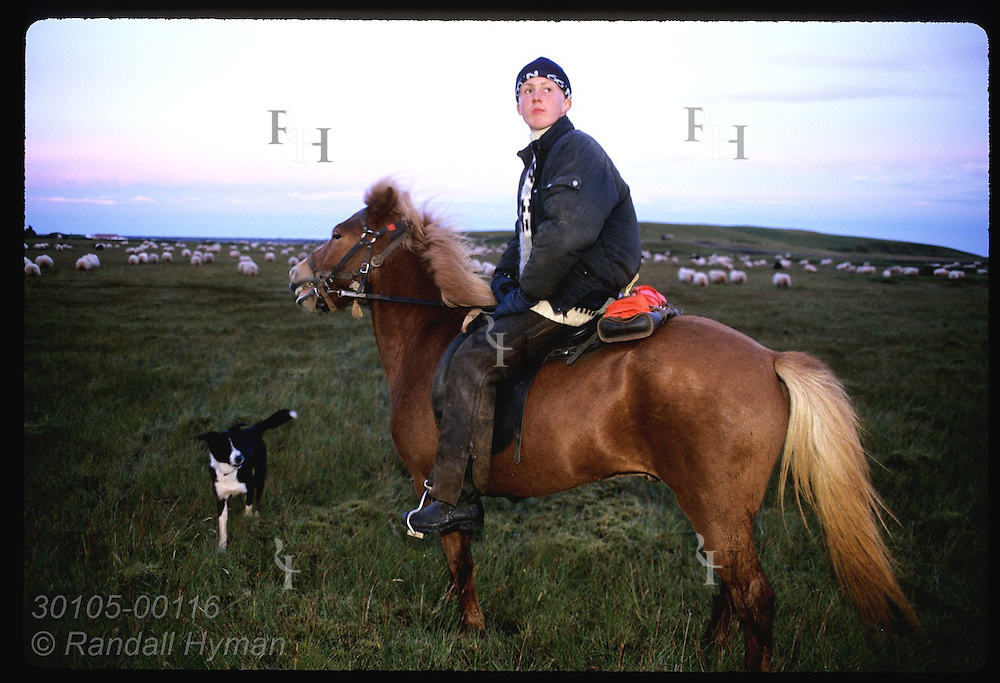 Horseman & dog rest at end of 4-day roundup as sheep fill lowland pastures of Kirkjubaejarklaustur Iceland