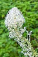 Found throughout the higher elevations of the Cascades and Rocky Mountain ranges, the common beargrass is a summer-blooming member of the lily family, particularly common in the sub-alpine elevations.
